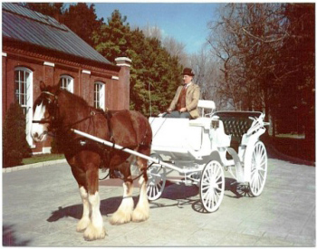 Brown and white clydesdale pulling a white carriage with driver at the ready.