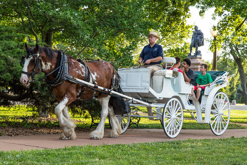 White horse drawn carriage in Tower Grove Park